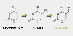 5-hydroxymethylcytosine (5-hmC) and cytosine and 5-mC, 5-methylcytosine cycle